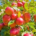 æbletræer