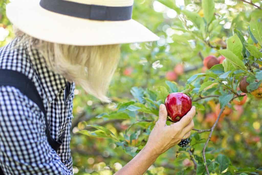 Pas godt på dine æbletræer